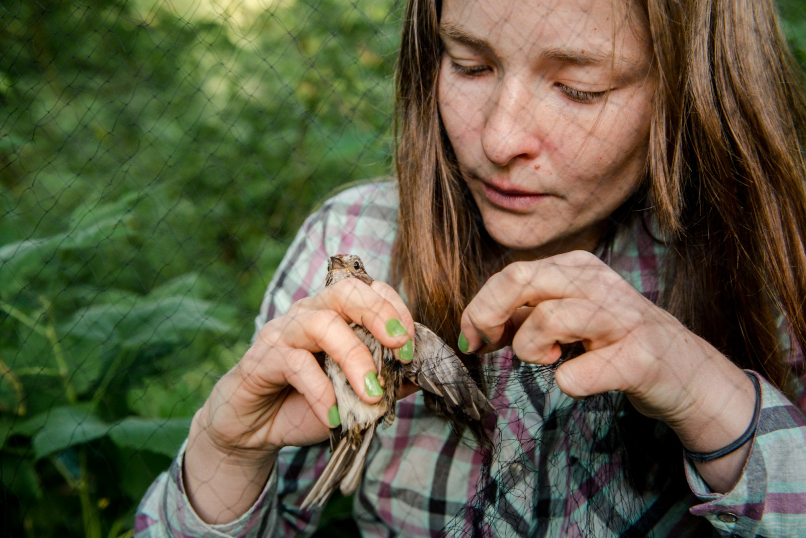 Gently removing a song sparrow from a bird net.