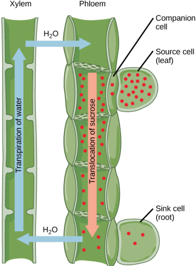 Xylem and Phloem: A Plants Source and Sink – Anna's Plants ...