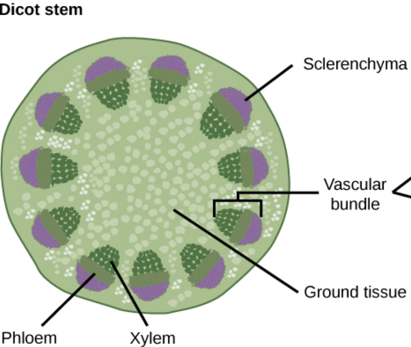 Xylem And Phloem A Plants Source And Sink Annas Plants In Motion