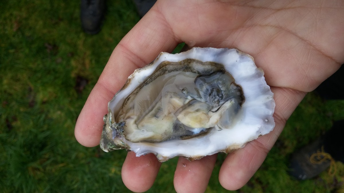 The Multi-Cultural History and Contemporary Business of Oysters ...