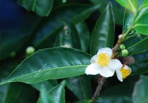 Camellia_sinensis_Bois_Cheri