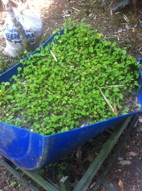 Tropical Medicinal Plant Course Notes Week 1 – Yarden Tastes